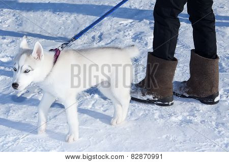Young Puppy Siberian Husky
