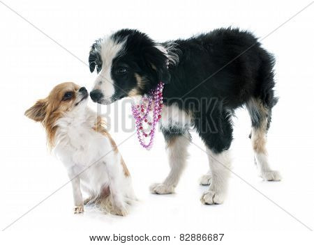 Puppy Border Collie And Chihuahua