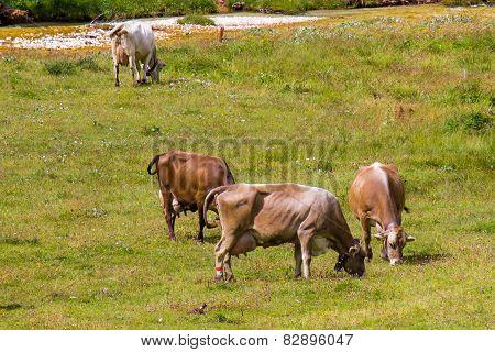 Bovines Grazing