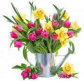 image of bosoms  - bunch of fresh pink tulip flowers and yellow daffodils in watering can isolated on white background - JPG