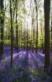 image of harebell  - Beautiful fresh morning in Spring bluebell forest  - JPG