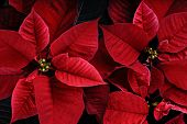 pic of poinsettia  - A close up of red vibrant poinsettia plants. The plant is most commonly used for Christmas displays and themes.