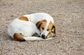 foto of stray dog  - stray white dog lying on the ground - JPG