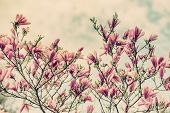 stock photo of magnolia  - A close up of pink flowers on a magnolia tree during the spring season against a cloudy blue sky - JPG