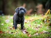 pic of pure-breed  - A pure bred black Labrador retriever puppy playing outside in the yard during the fall season - JPG