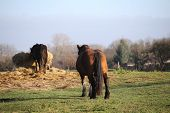 foto of shire horse  - Big and heavy plow horse standing on a meadow and watching another horse eating - JPG