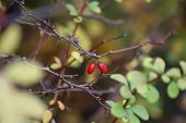 picture of barberry  - Fruits of the ornamental japanese barberry  - JPG