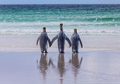 stock photo of three kings  - Three king penguins on the beach looking out to sea