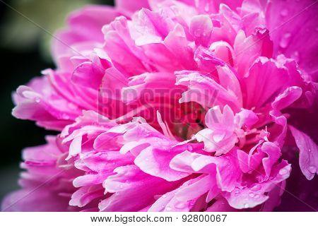 pink petals, super macro