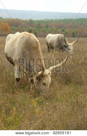 huge oxen grazing