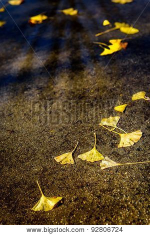 Yellow Gingko biloba leaves