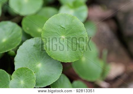 Umbelliferae Leaf