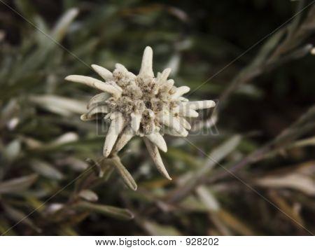 Edelweiss Closeup