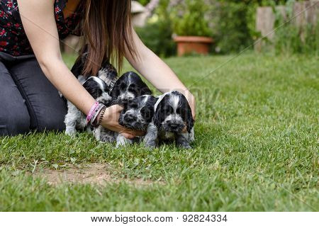 English Cocker Spaniel Puppys
