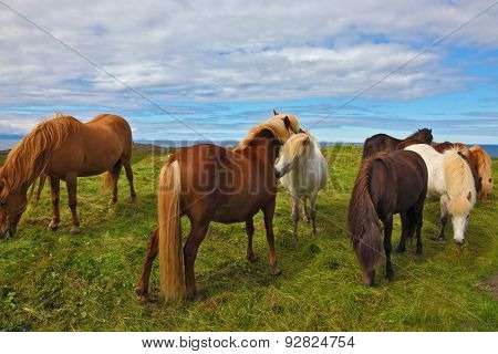 Icelandic horses. Beautiful and well-groomed horse chestnut and white suit on free ranging