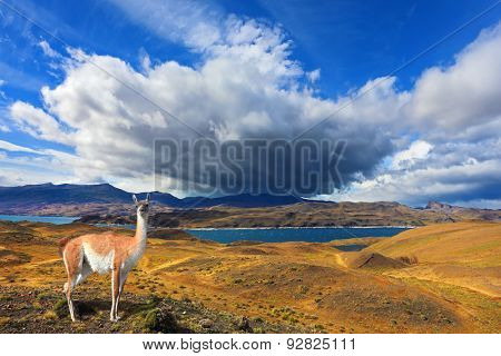 Beautiful day in early autumn in Patagonia. National Park Torres del Paine. On the yellowed grass stands guanaco - Lama