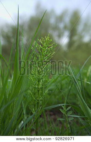 Field Horsetail In Grass