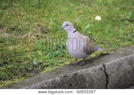 Collared Dove On The Curb