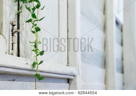 White Wooden Room With Houseplant Ivy And Defocus Background