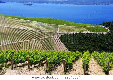 Vineyard In Dalmatia, Croatia, At The Adriatic Coast