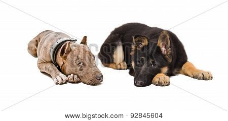 Puppies pit bull and German Shepherd
