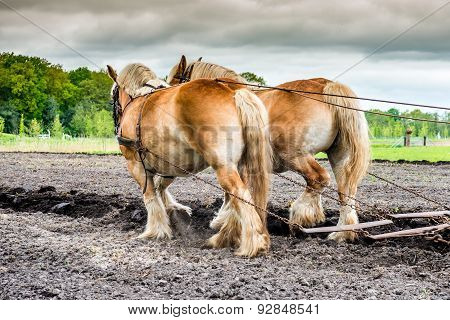 Plowing Horses On A Field
