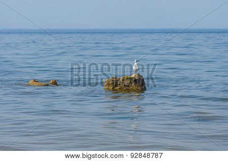Lonely Caspian gull on a rock in Kakhovka Reservoir