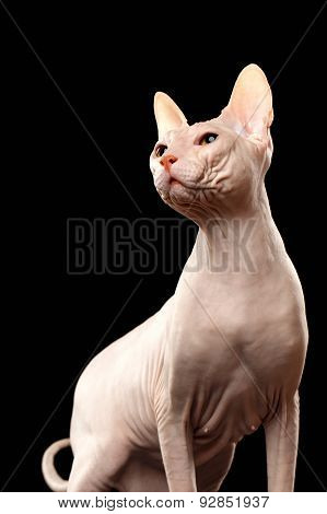 Bald Cat. Cat Of Breed Sphinx. Naked Cat On Black