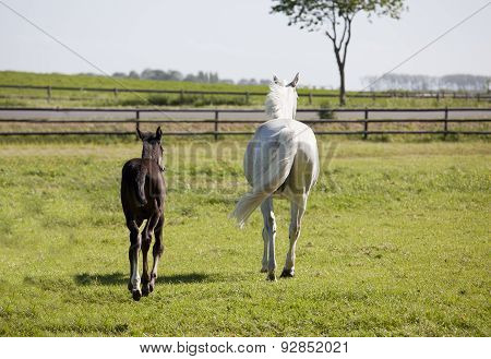 White Mare With Foal