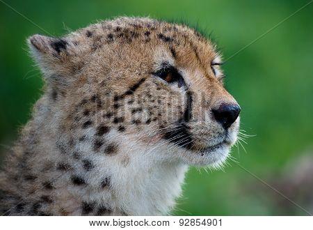 Cheetah Portrait On Green Backround