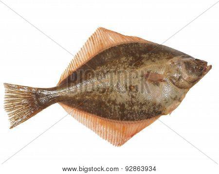 Big Fish Flounder
