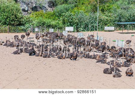 Female Ostriches