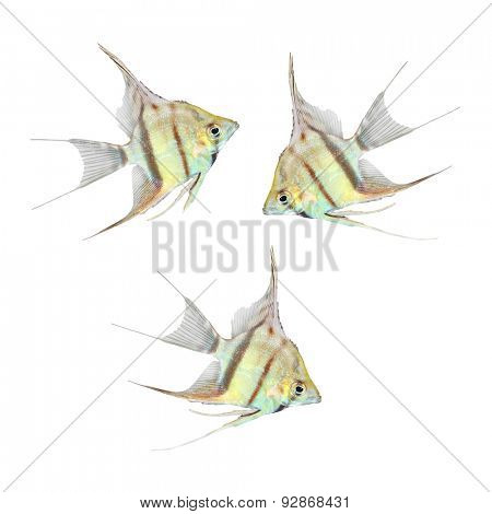 Tropical fish. Freshwater Angelfish (Pterophyllum scalare) isolated on white background.