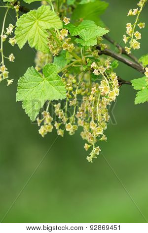 Blackcurrant (ribes Nigrum) Flowering Shrub In Spring