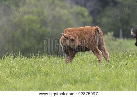 A grazing American Field Buffalo