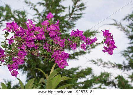Purple-pink Bougainvillea
