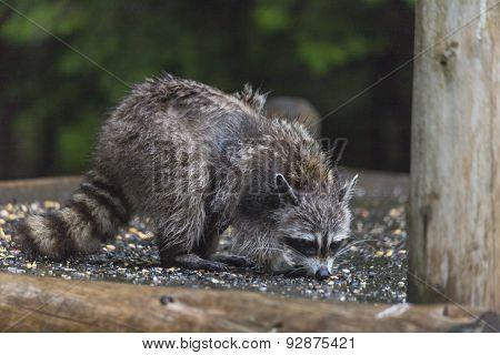 A lone racoon feeding