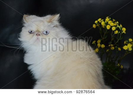 Cat - Persian Himalayan Cream Point