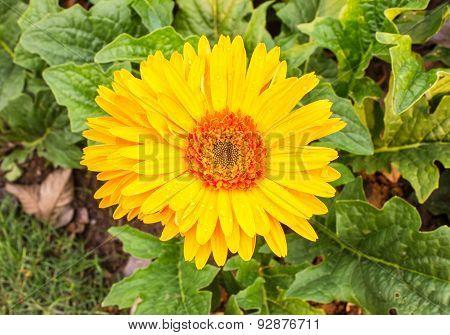 Beautiful bright gerbera flowers are popular.