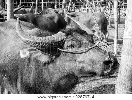 Buffalo in the paddock