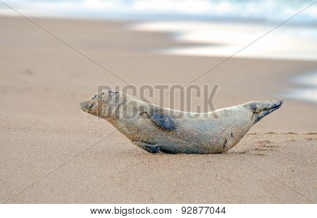 Smiling Harbor Seal Resting on Kitty Hawk Beach