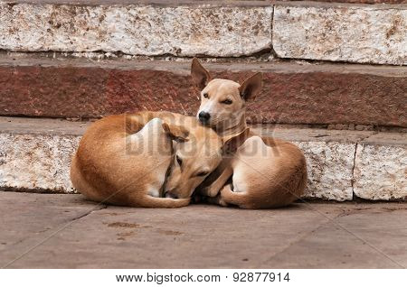 Two Dogs Lie On The Steps Of Ghat In Varanasi