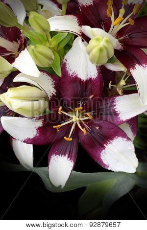 Lilium Cappuccino