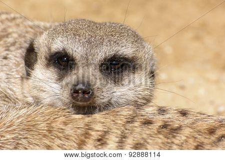 Resting Meerkat