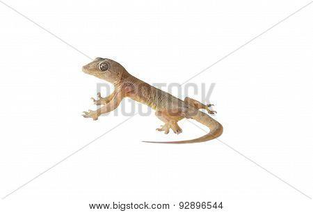 Wall-lizard