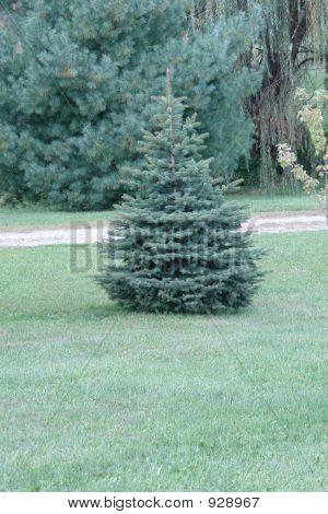 Pine Tree...