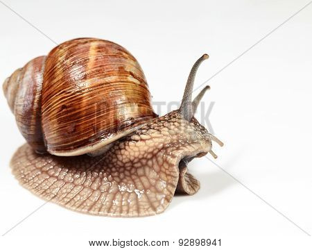 Side View Of Garden Snail