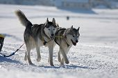picture of sled  - two of sled dogs running through lonely winter landscape