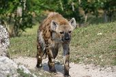 image of hyenas  - a picture of a hyena walking around  - JPG