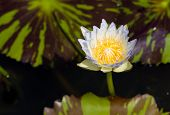 pic of water bug  - Light blue and yellow water lily on the dark water with big leafs - JPG